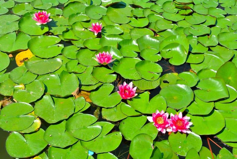 Lotus Water Lily photo libre de droits