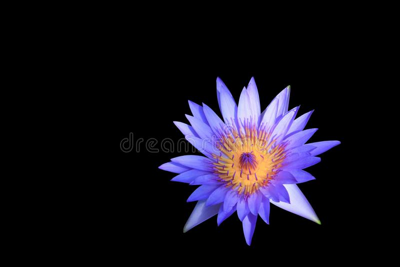 Lotus, water lily flower purple beautiful isolated on black background and clipping path royalty free stock photography