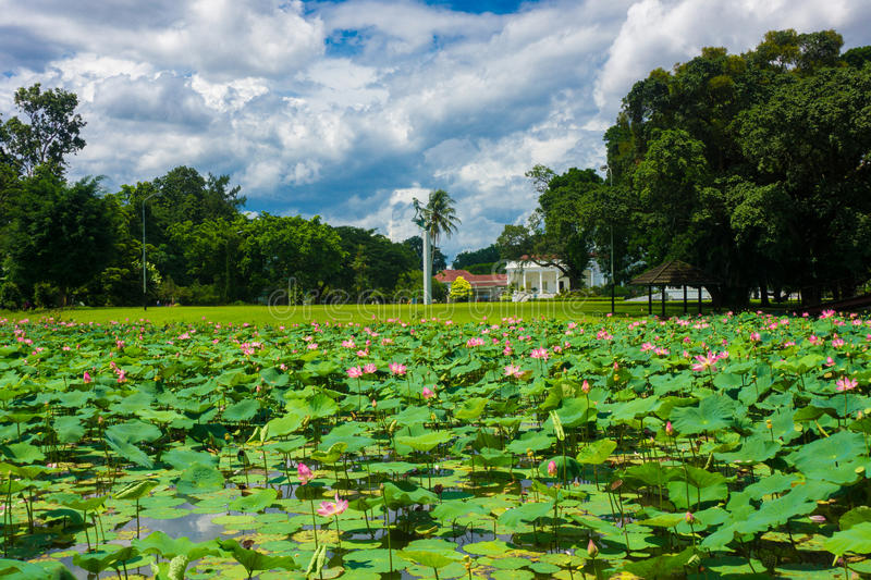 Lotus or water lily fulfill the pond near Istana Negara Bogor with beautiful landscape photo taken in Bogor Indonesia. Java stock images