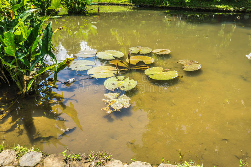 Lotus or water lily on a pond with green water photo taken in Kebun Raya Bogor Indonesia. Java stock photography