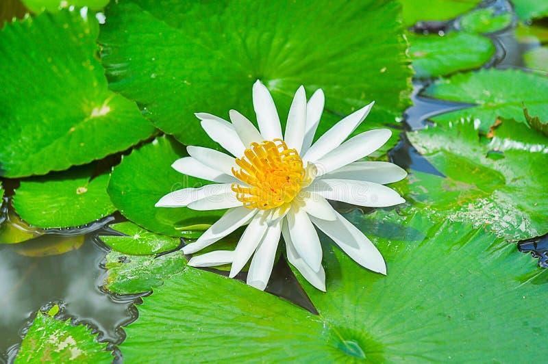 Lotus Water Lily, Seerose, Lilie, Blume, Wasser-Garten stockfotografie