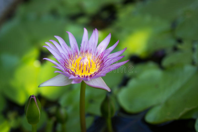 Lotus in the water stock photography