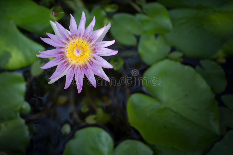 Lotus in water royalty free stock images