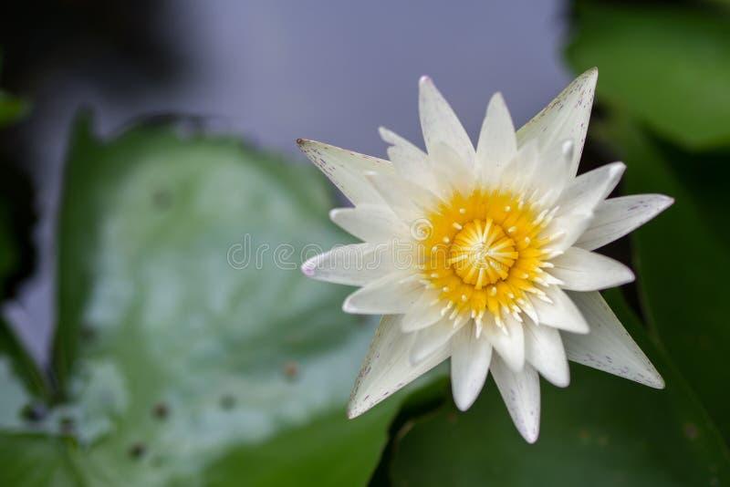 Lotus in water royalty free stock photos