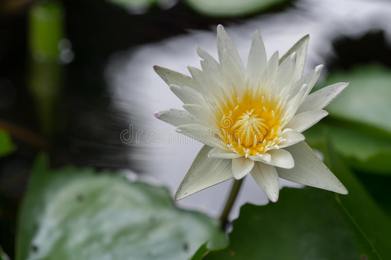 Lotus in the water royalty free stock image