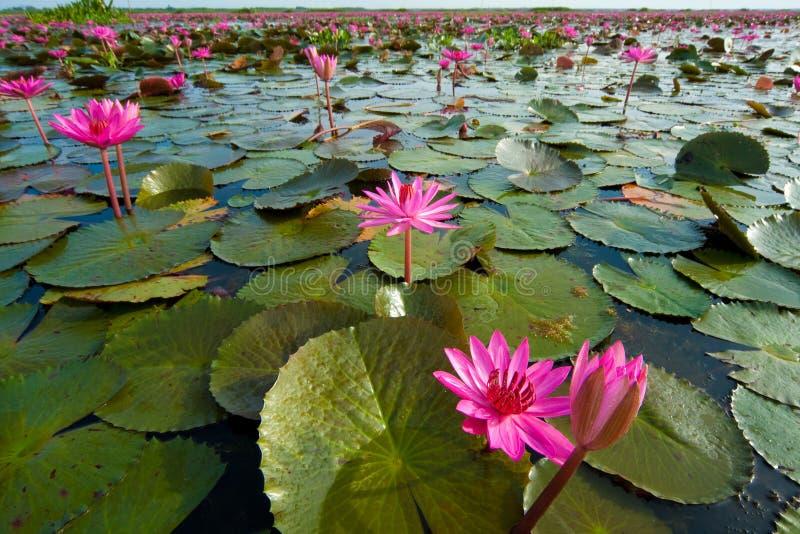 Lotus, wetlands stock photography