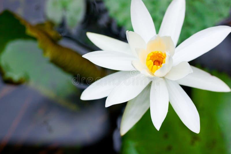 lotus white azji kwiat obraz royalty free