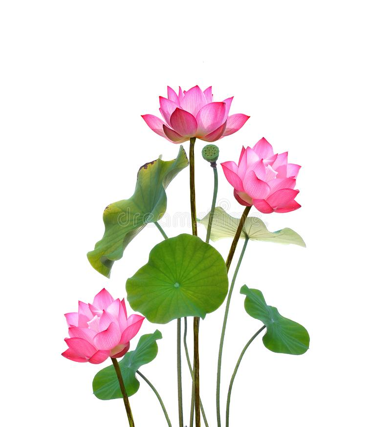Lotus on white background. stock photography