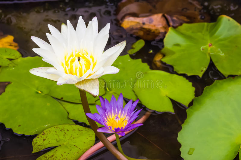 Lotus,White and purple water lilies stock image