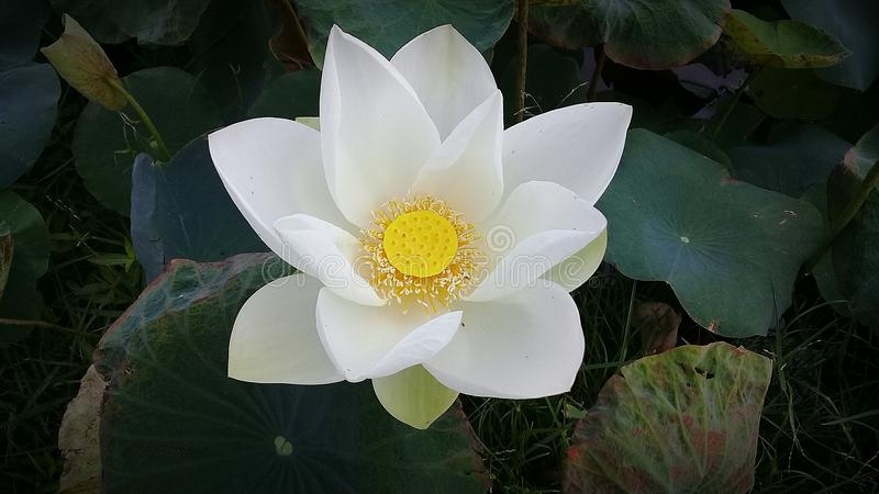 Lotus. White whiteflower beautiful nature royalty free stock photo