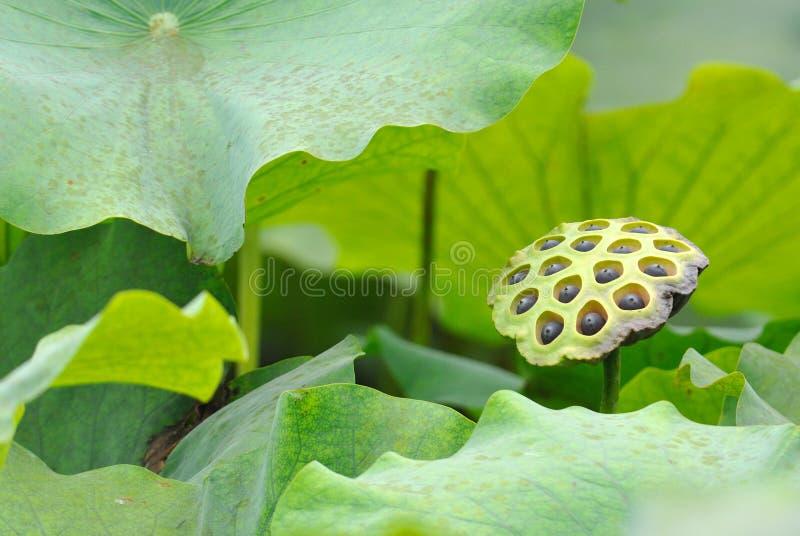 Lotus ziarna strąk obraz royalty free