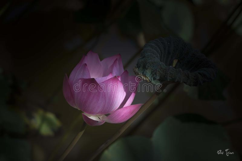 Lotus in zonnig royalty-vrije stock afbeeldingen