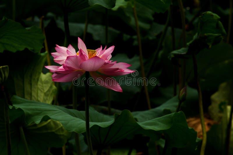 lotus03 obraz stock