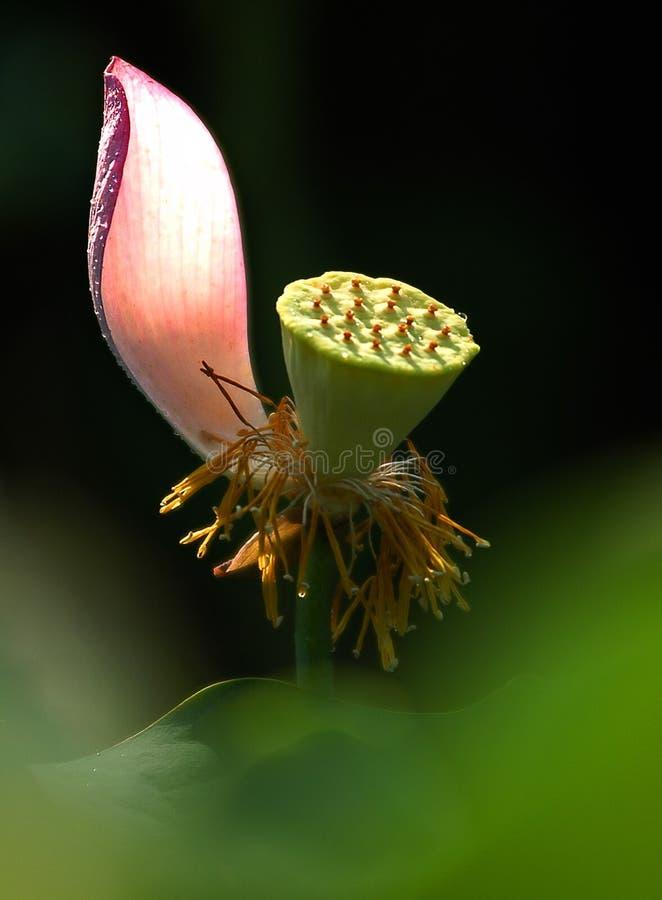 lotus8 图库摄影