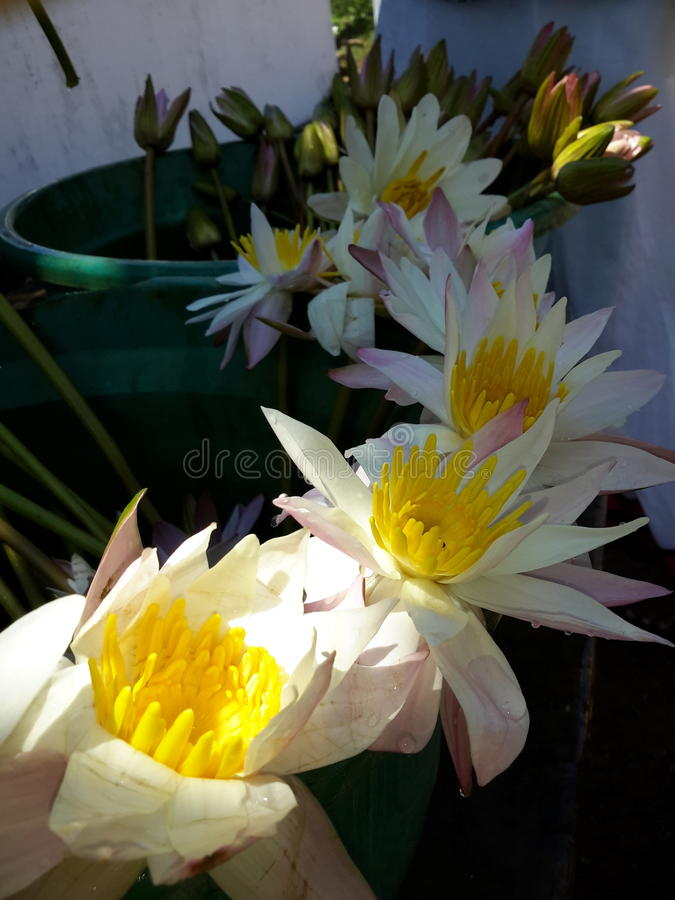 lotusbloem stock foto's