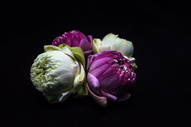 Lotusbloem vier met gevouwen bloemblaadjes royalty-vrije stock foto