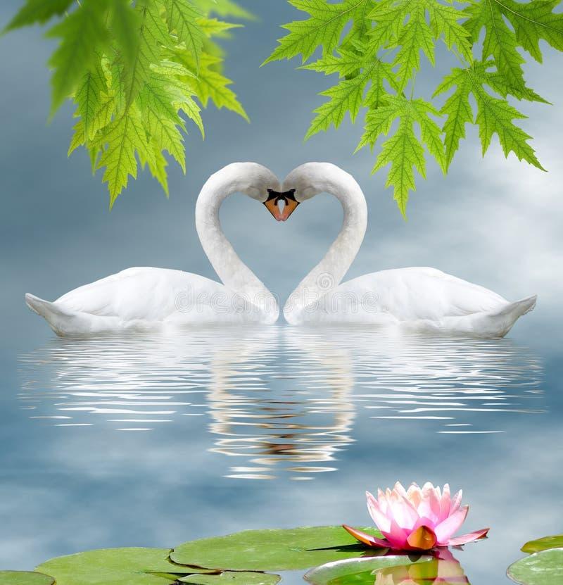 lotusbloembloem en twee zwanen als symbool van liefdeclose-up stock afbeeldingen