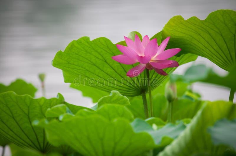 lotusbloemvijver bij nacht stock fotografie