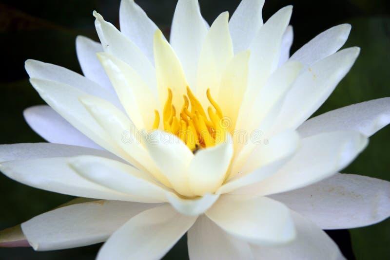 lotusblomma