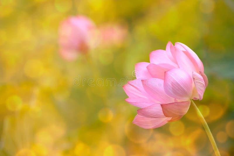 Lotusblomma royaltyfri foto