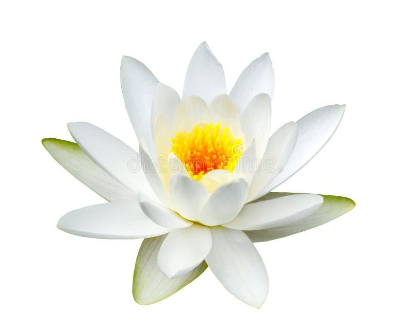 lotusblomma royaltyfri fotografi