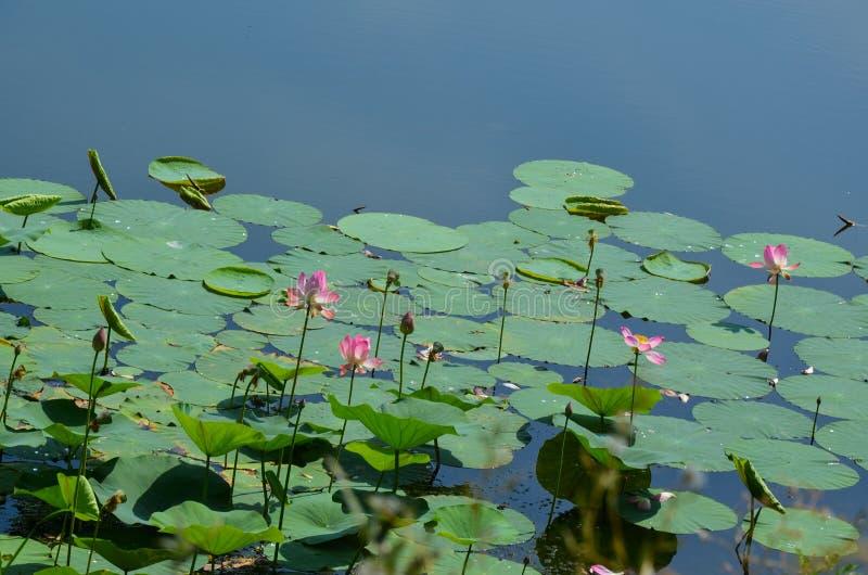 Lotusblomma lake arkivbilder