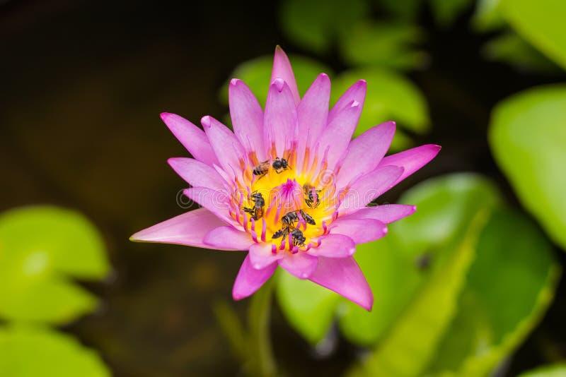 Lotusblomma och bi royaltyfri foto