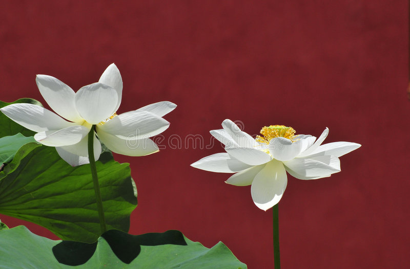 Lotusblomma och den forntida väggen arkivfoto