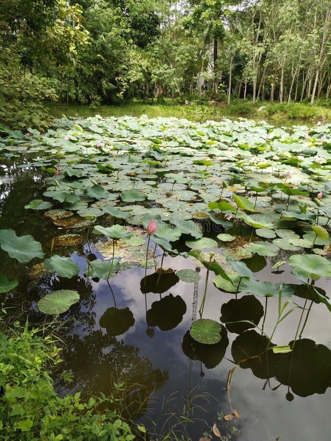 lotusblomma rosa thailand arkivbild