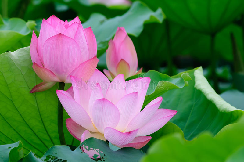 Lotusblomma tre arkivfoto
