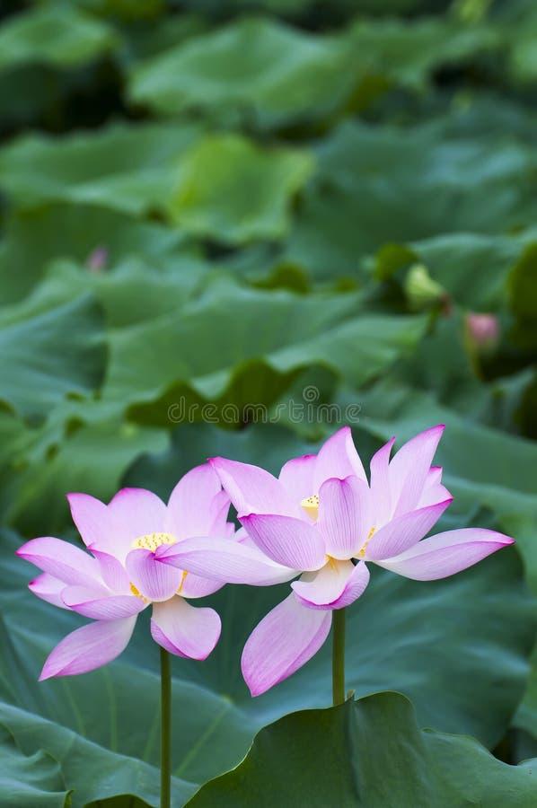 lotusblomma två fotografering för bildbyråer