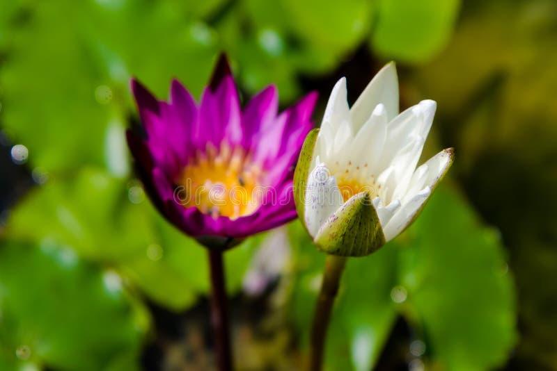 Lotusblomma två på ett damm royaltyfri bild