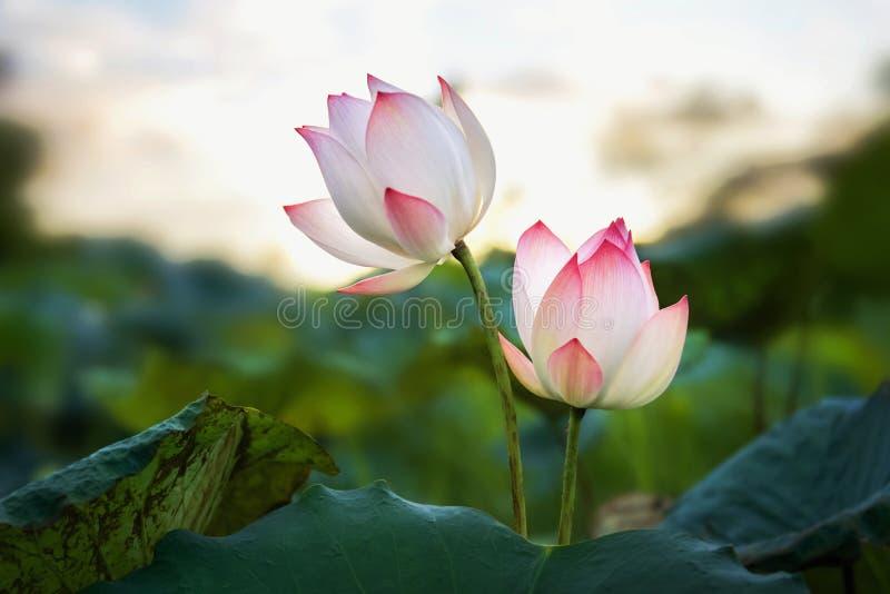 lotusblommablomma för skönhet som två blommar i dammet royaltyfri bild