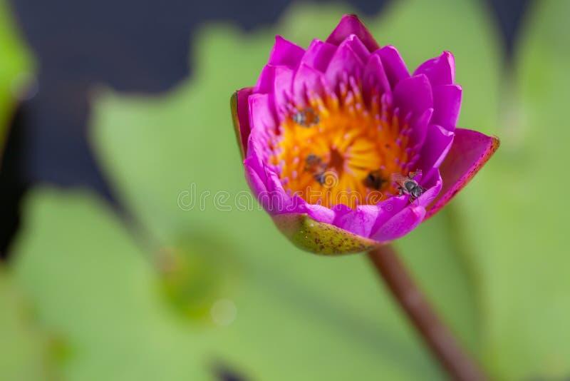 Lotusblommablomma och bi arkivfoto
