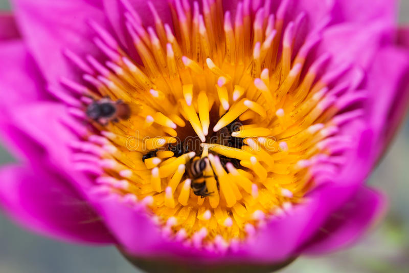 Lotusblommablomma och bi royaltyfri bild