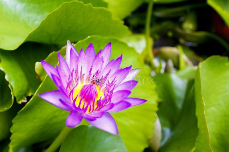 Lotusblommablomningarna blommar tidigt på morgonen arkivbilder
