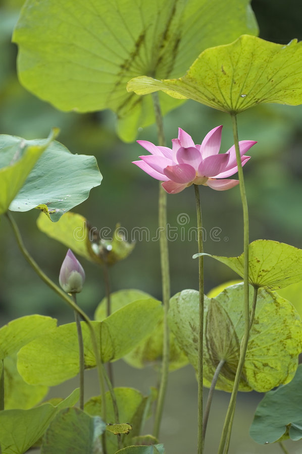 lotusblommadamm arkivbild