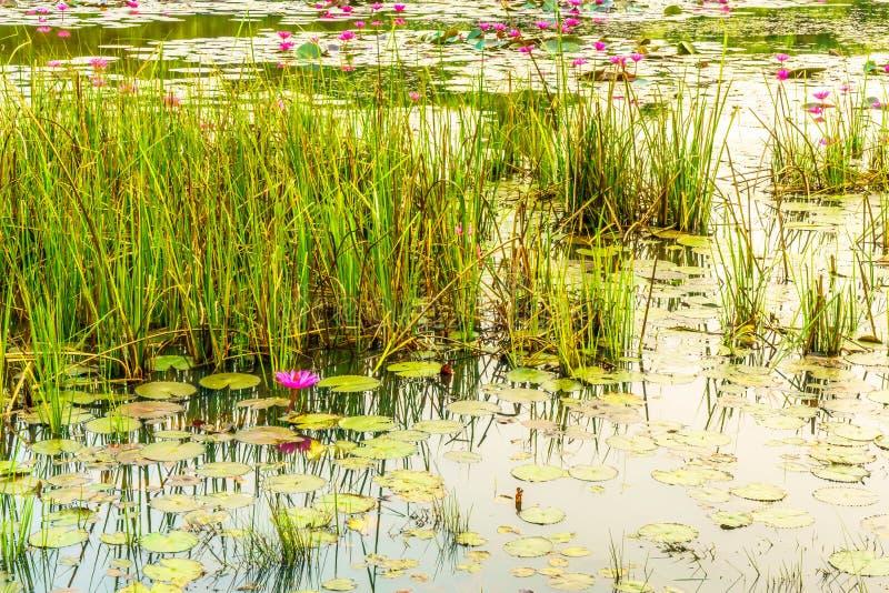 Lotusblommadammet har många lotusblomma fotografering för bildbyråer