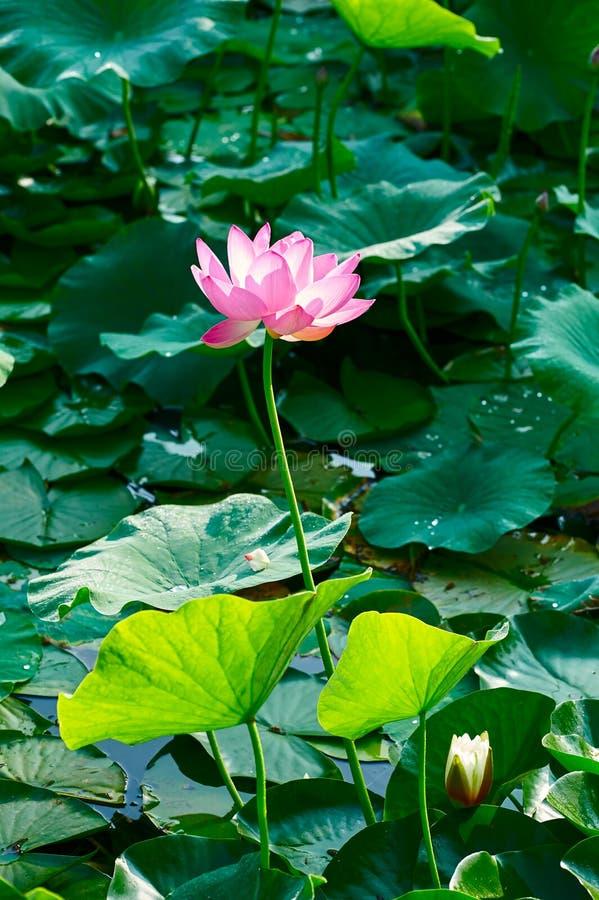 Lotusblommadammet och lotusblomman arkivfoto