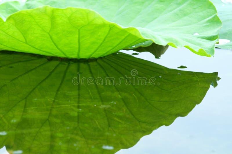 Lotusblommaleaf med reflexion arkivfoton