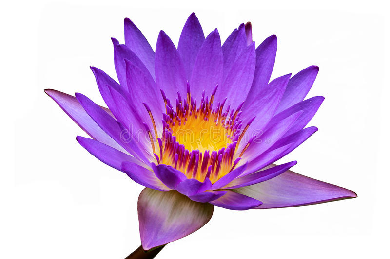Lotusblommar blommar isolerat på vit bakgrund arkivbilder