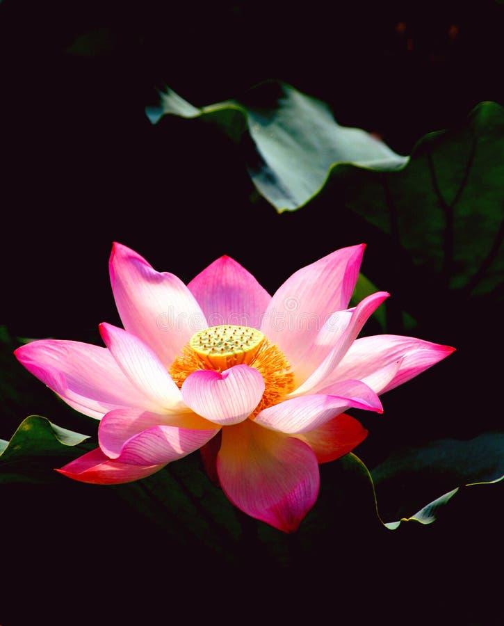 lotusblommared arkivfoto
