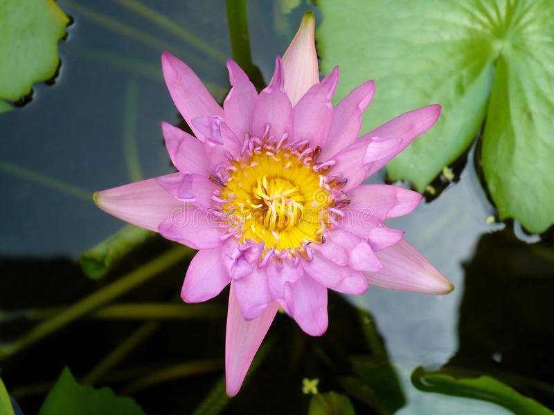 lotusblommaväxtvatten royaltyfria foton