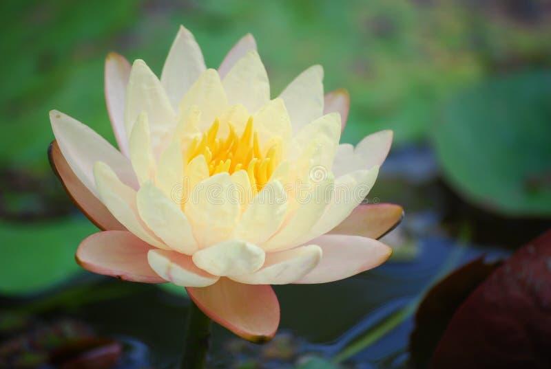lotusblommawhite royaltyfria bilder