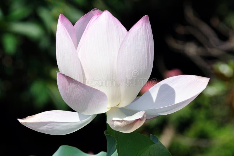 lotusblommawhite royaltyfri foto