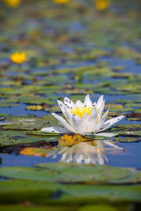 lotusblommawhite fotografering för bildbyråer