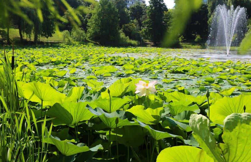 Lotuses στη λίμνη στοκ φωτογραφίες με δικαίωμα ελεύθερης χρήσης
