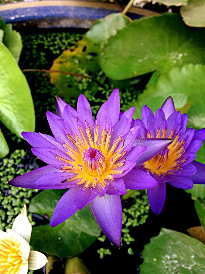 lotuses imágenes de archivo libres de regalías