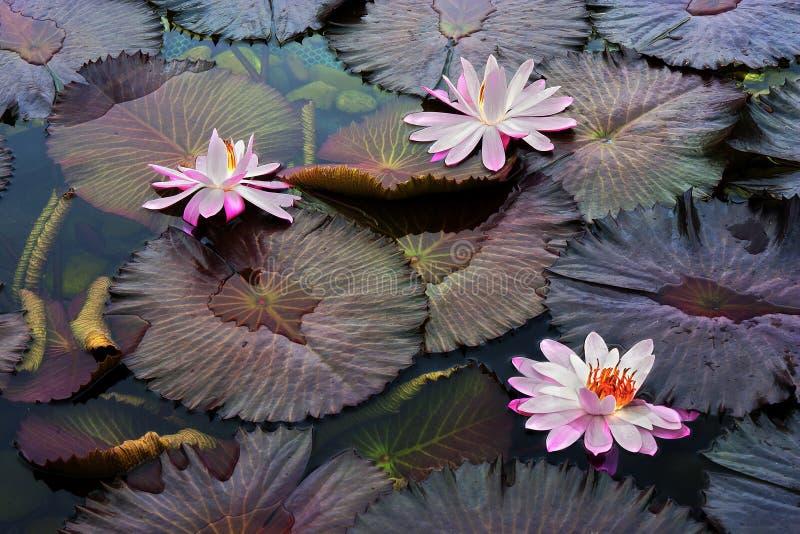 lotuses obraz royalty free