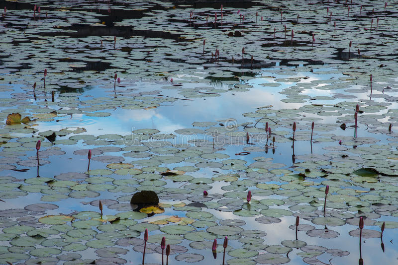Lotuses zdjęcie stock